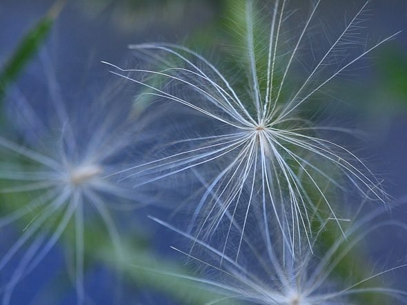 Spear Thistle Seed. Image made in Victoria, British Columbia, Canada.
