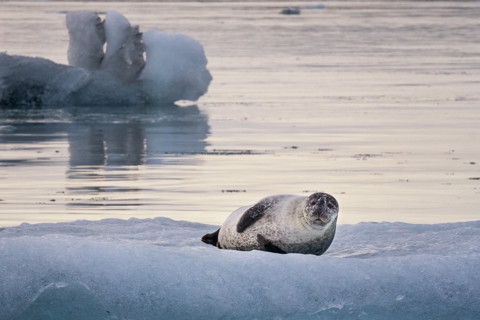 Seal at Jokulsarlon Glacial Lagoon, Iceland