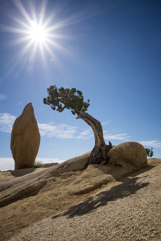 Tree and sunburst at Joshua Tree National Park, California