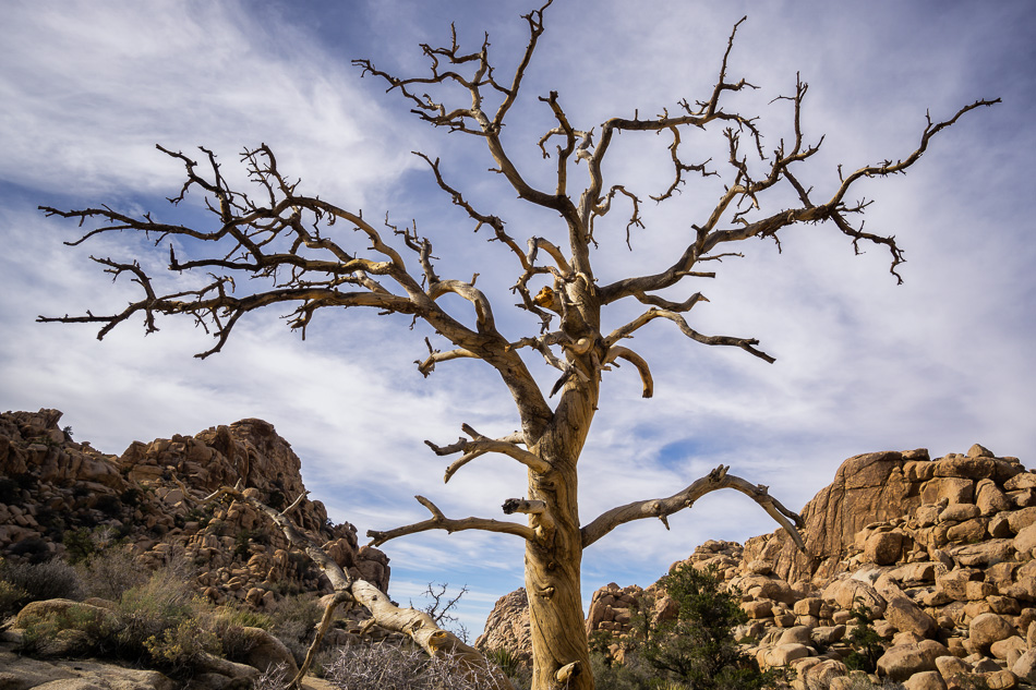 Bare tree at Joshua Tree National Park, California by Anne McKinnell