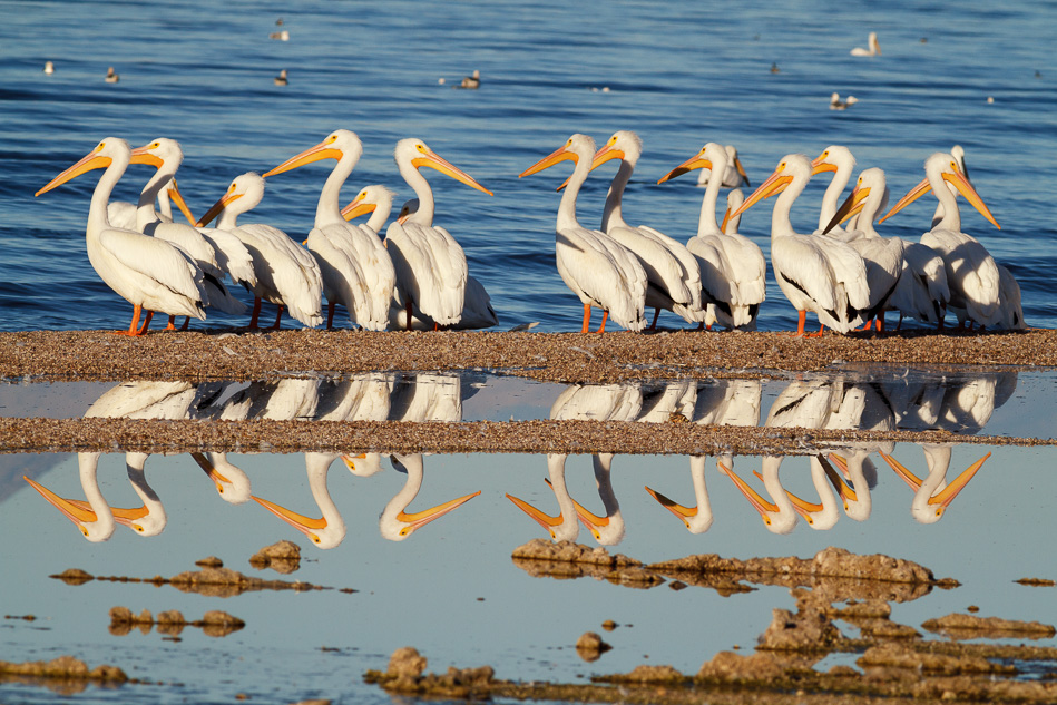 White pelicans and their reflections at the Salton Sea, California.
