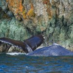 Humpback Whales at Copper Cliffs
