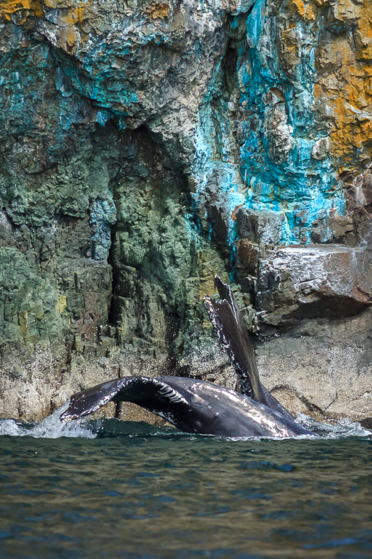 Humpback Whales at Copper Cliffs, Quadra Island, BC by Anne McKinnell
