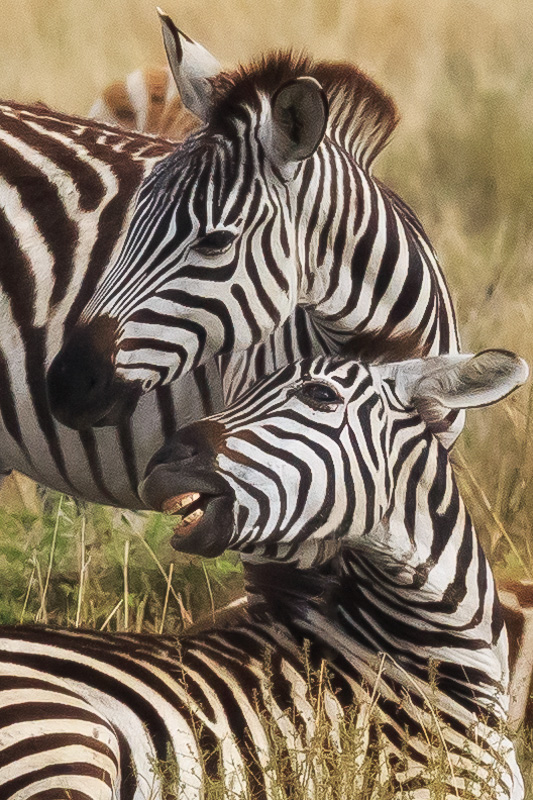 Two zebras in Serengeti National Park, Tanzania