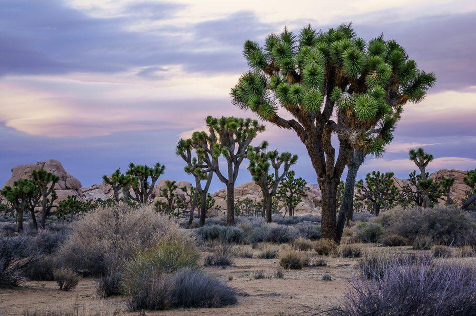 Joshua trees at Joshua Tree National Park, California