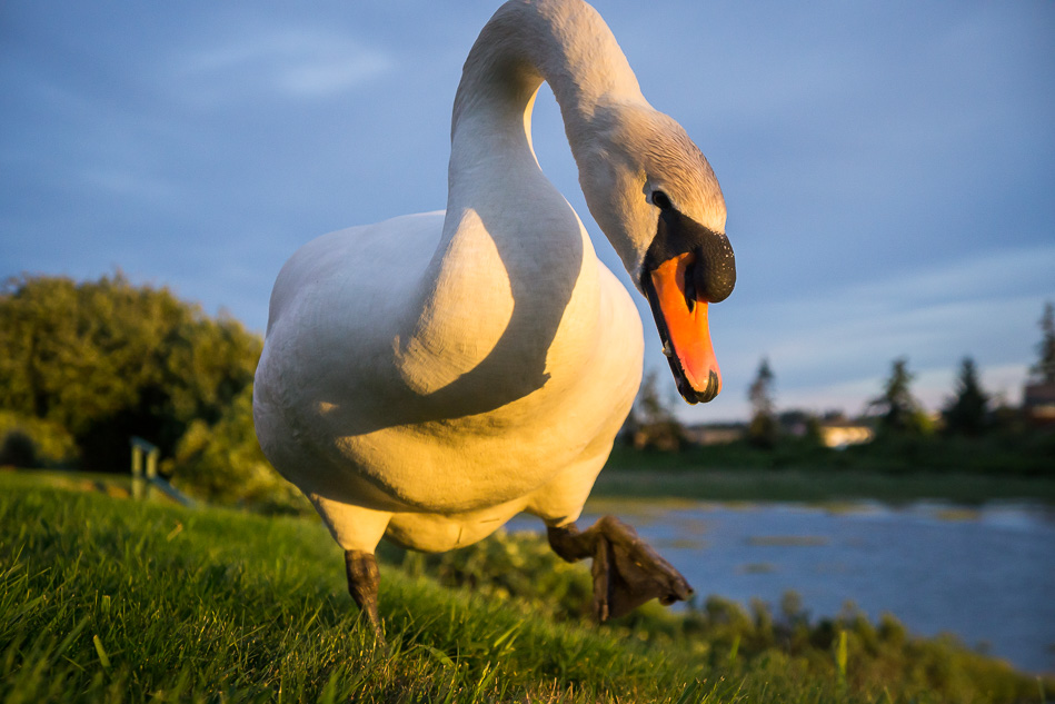 Mute Swan in Thunderbird RV Park, Campbell River, BC
