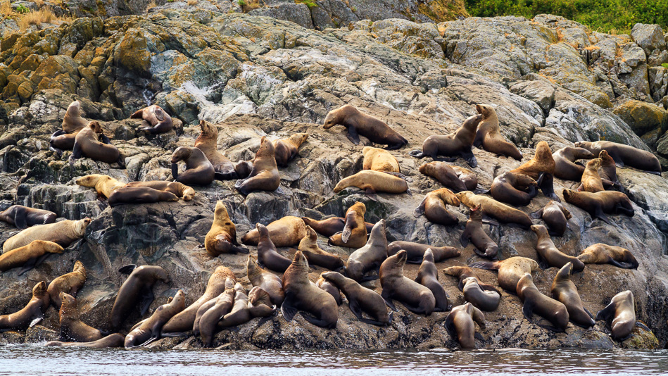 Sea Lions on Mittlenatch Island near Campbell River, BC