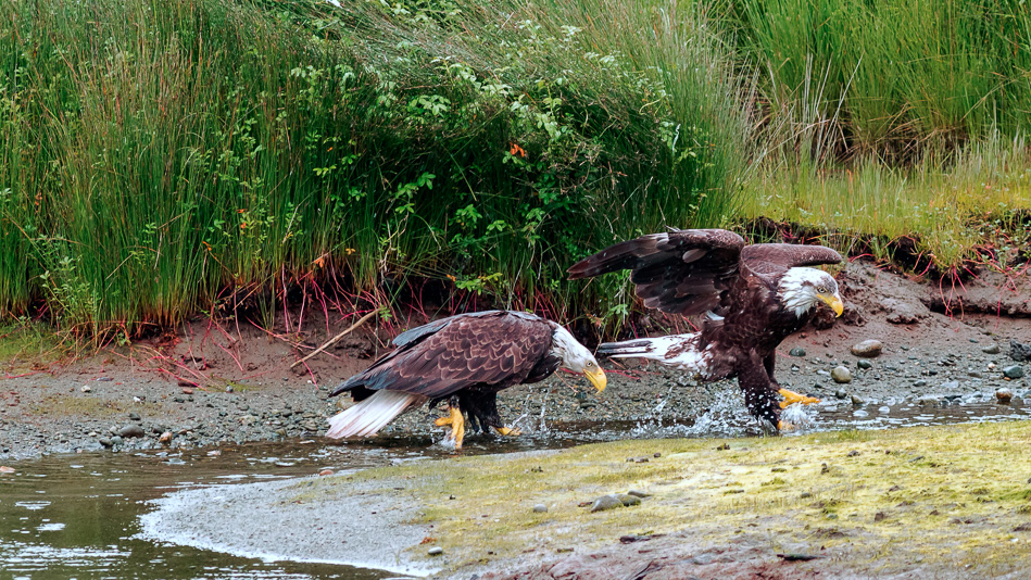 Two bald eagles walking in the creek in Campbell River, British Columbia.