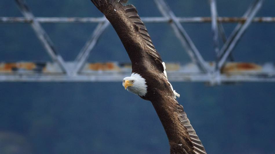 Bald Eagle in Campbell River, British Columbia.