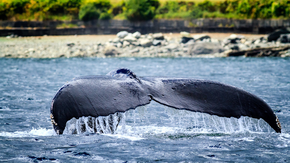 Humpback Whale in Discovery Passage, near Campbell River, BC
