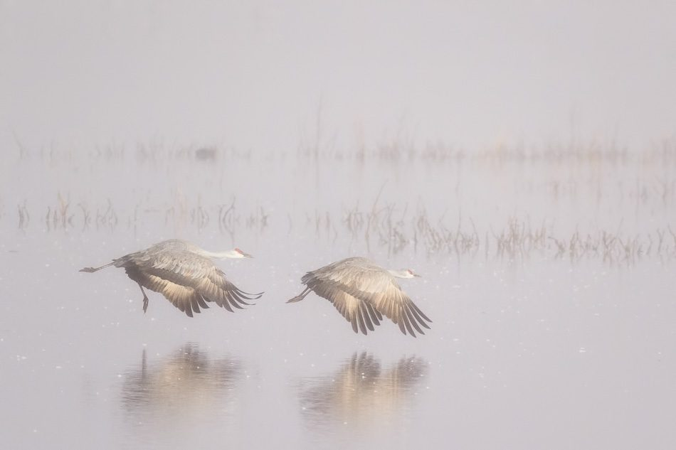 Sandhill cranes in the fog at Whitewater Draw, Arizona.
