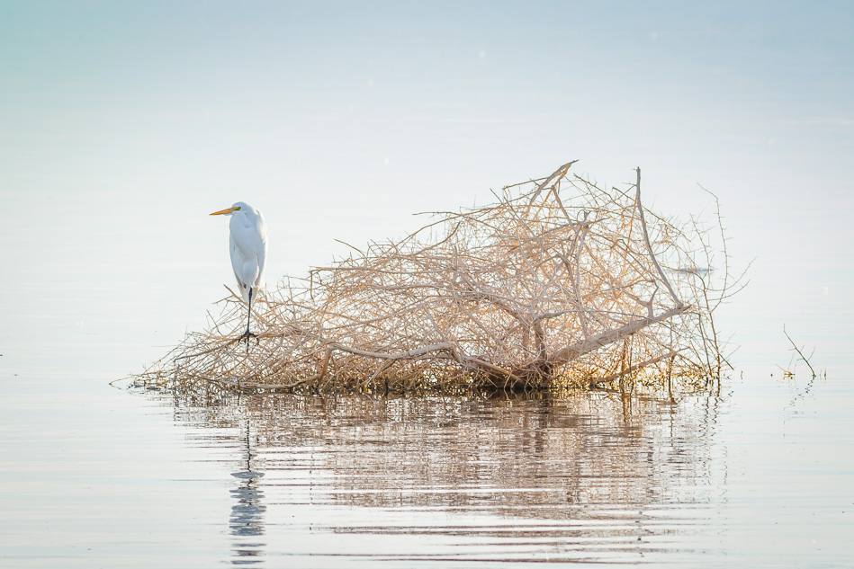 Egret at Salton Sea, California