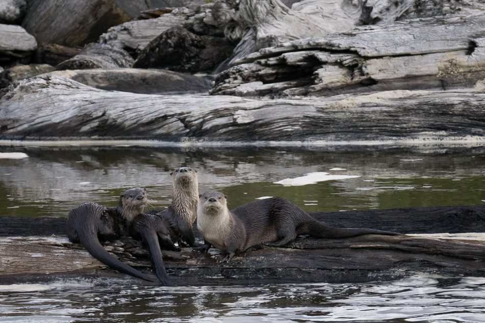 Three river otters on a log at False Klamath Cove, Redwood National Park, California