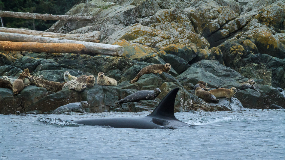 Orca, also known as killer whales, hunting seals.