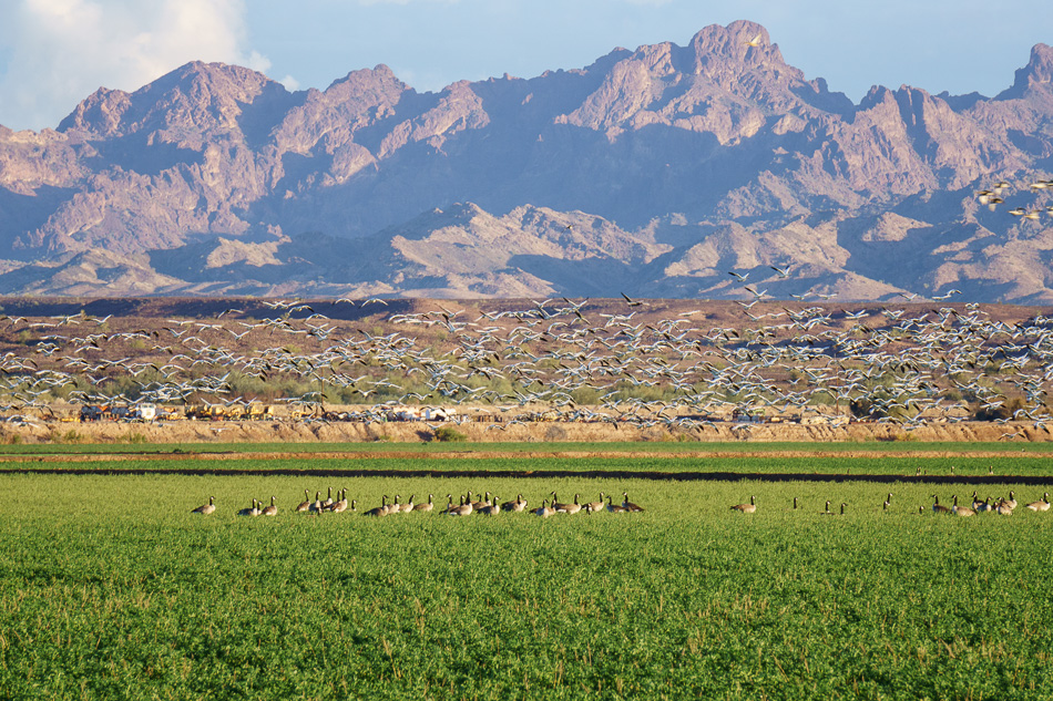 Canada geese and snow geese at Cibola National Wildlife Refuge, Arizona