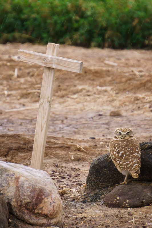 Burrowing owl at Cibola National Wildlife Refuge, Arizona