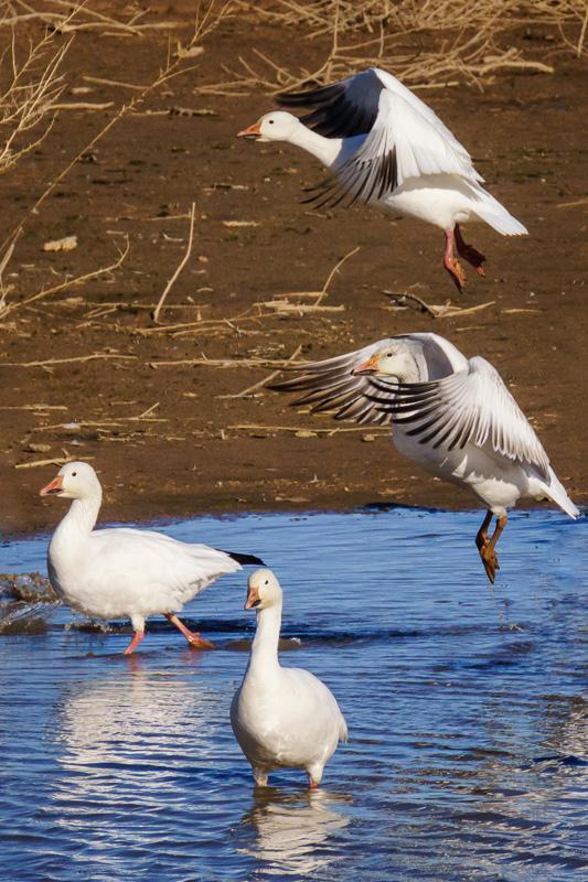 Snow geese at Cibola National Wildlife Refuge, Arizona