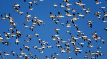 Snow geese at Cibola National Wildlife Refuge, Arizona