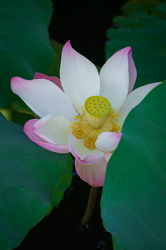 Lotus at Hongcun, China