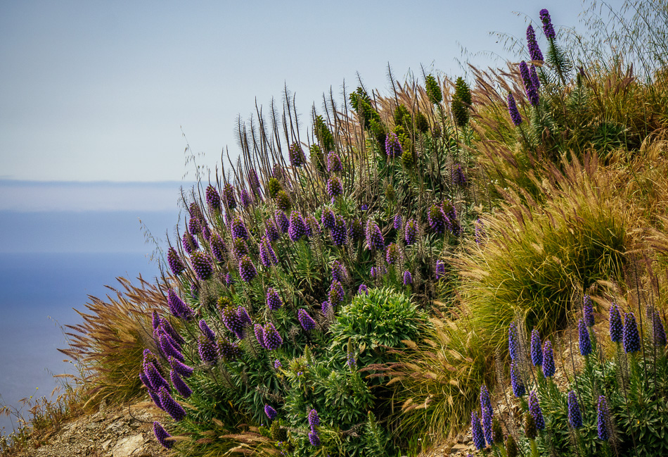 Pride of Madeira flowers in Big Sur, California