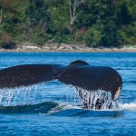 Reasons to Love Vancouver Island in Summer: #2 Humpback Whales