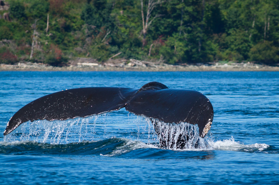 Humpback Whale near Campbell River, British Columbia