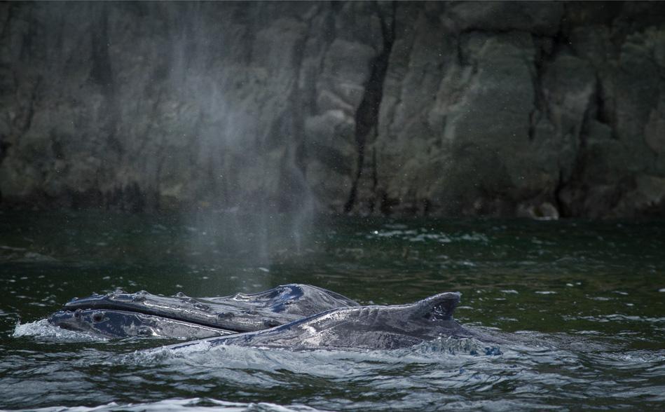 Humpback Whales near Browns Bay, British Columbia