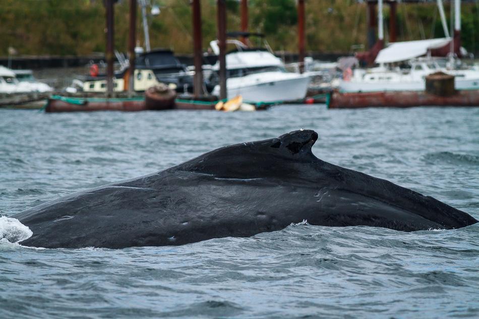 Humpback Whale near Brown's Bay Marina, British Columbia