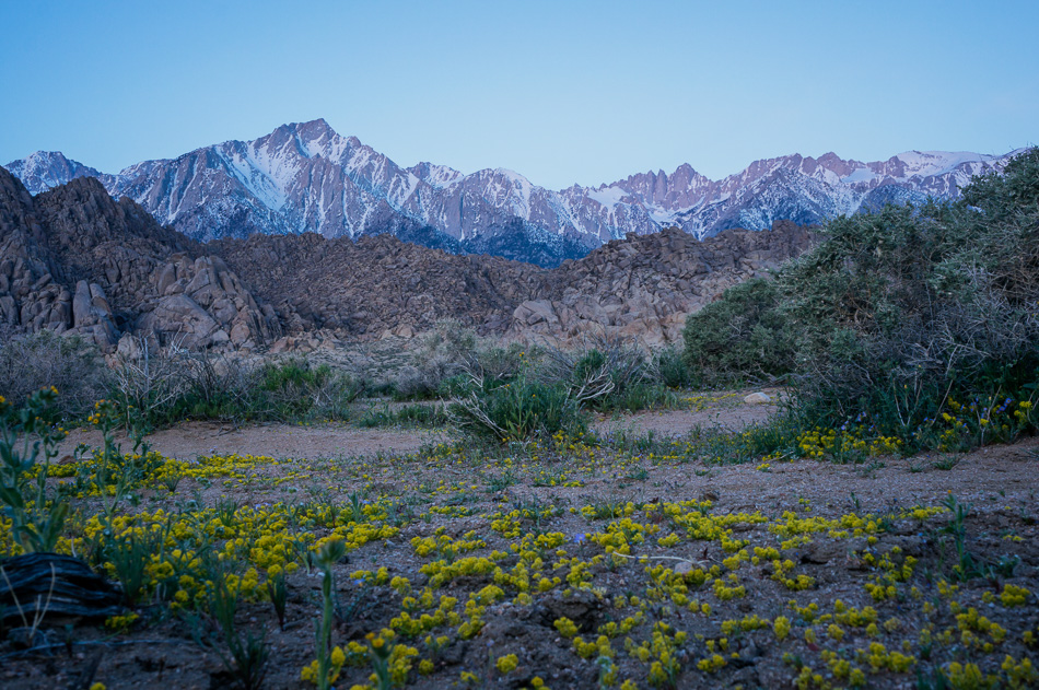 Flowers at Alabama Hills, California