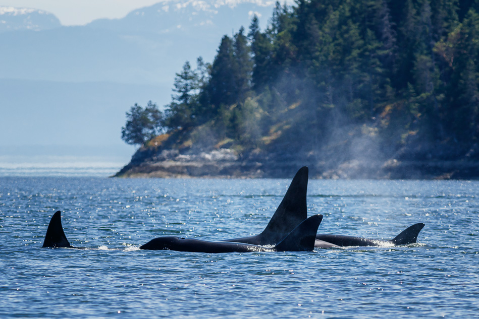 A pod of transient Orcas near Campbell River, BC.