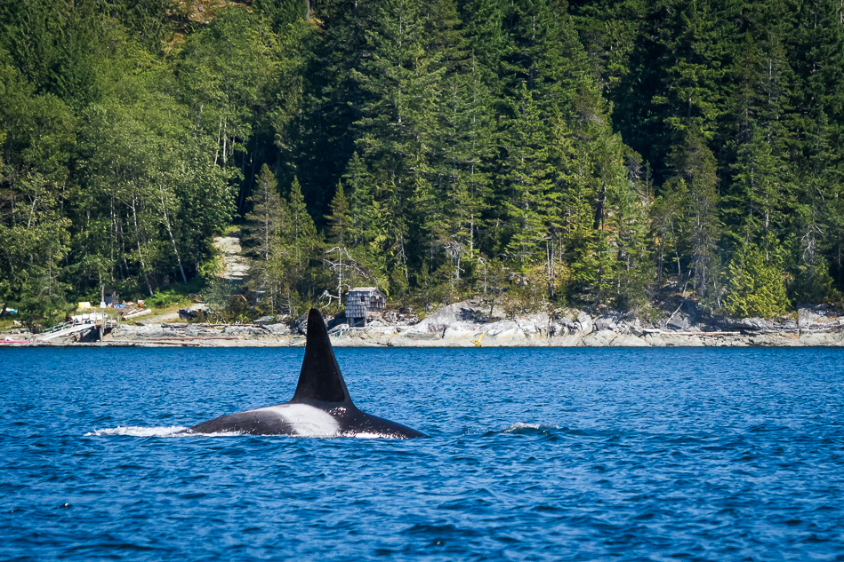 Orca near Campbell River, BC.