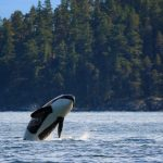 Orca breaching near Campbell River, BC.