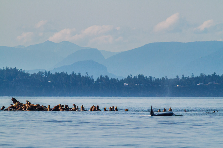Orca hunting sea lions near Campbell River, BC.