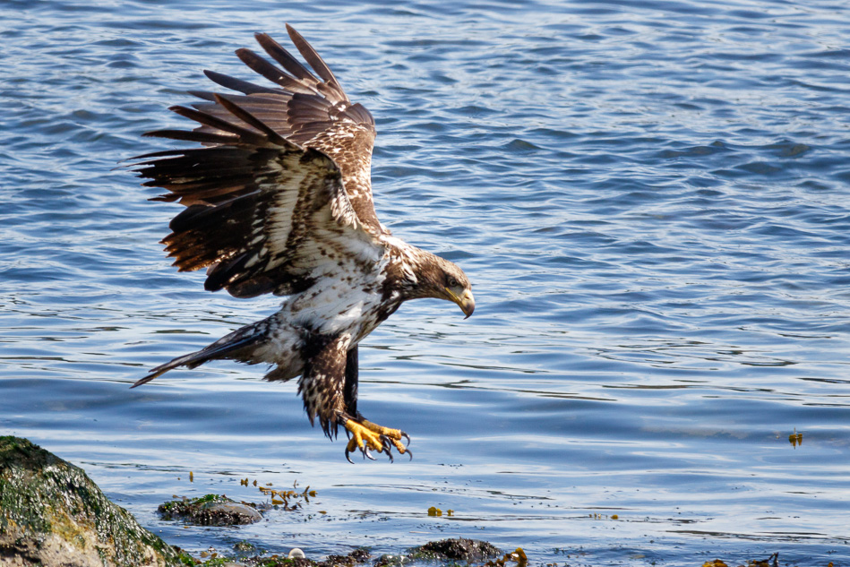 Juvenile Bald Eagle in Campbell River, British Columbia