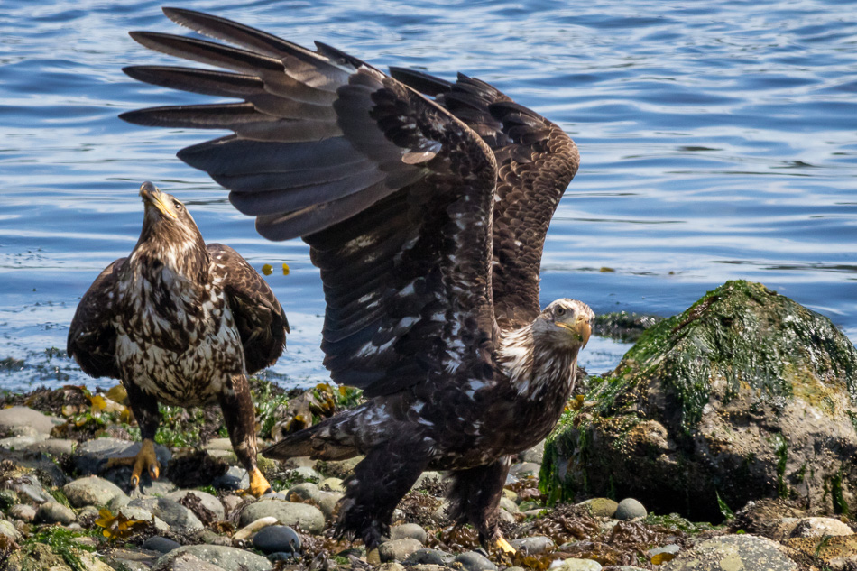 Two juvenile Bald Eagles in Campbell River, British Columbia