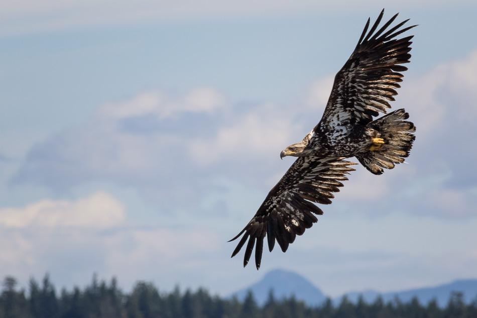 Juvenile Bald Eagle in Campbell River, British Columbia