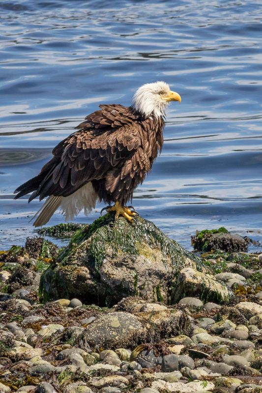 Bald Eagle in Campbell River, British Columbia