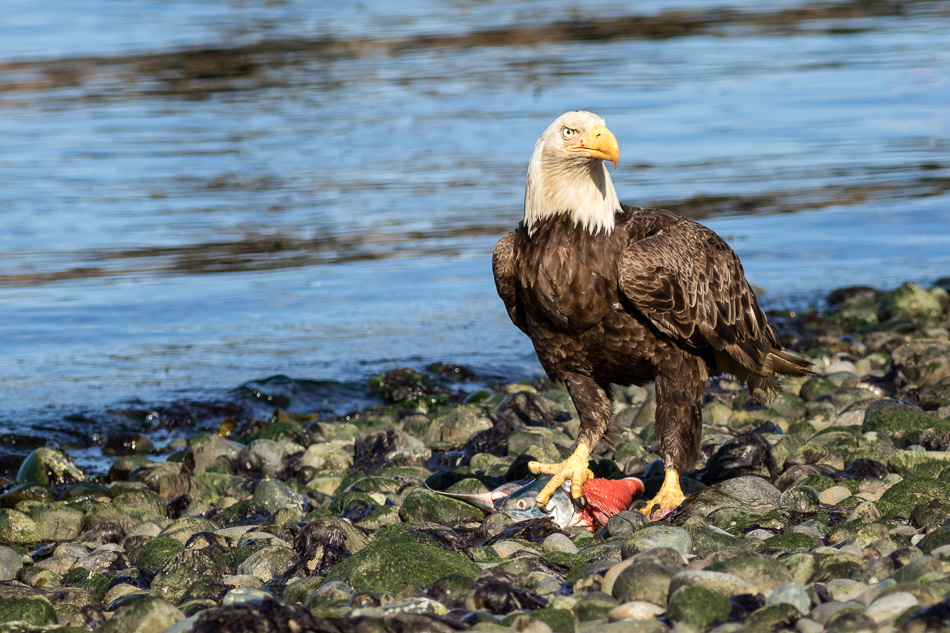 Bald Eagle with fish in Campbell River, British Columbia