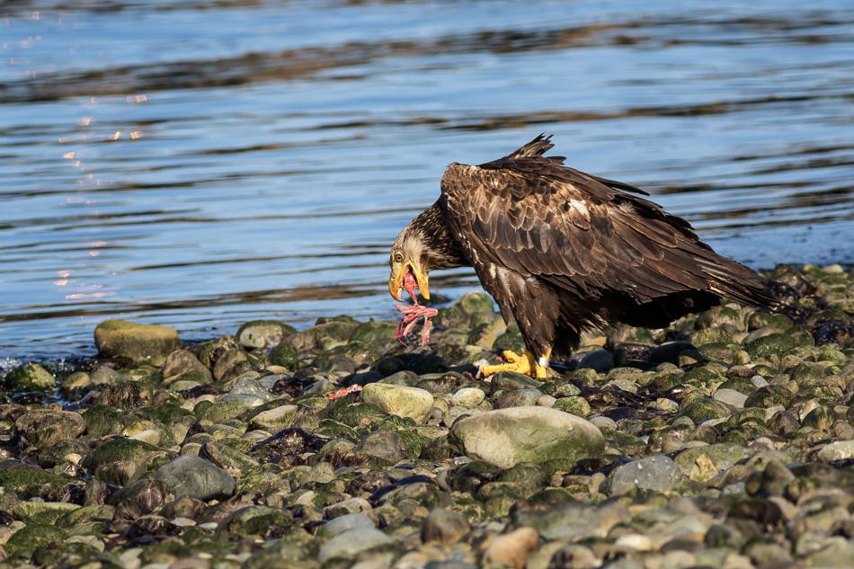 Juvenile Bald Eagle eating fish in Campbell River, British Columbia