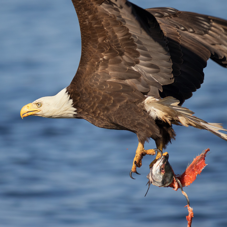 Bald Eagle flying with fish in Campbell River, British Columbia