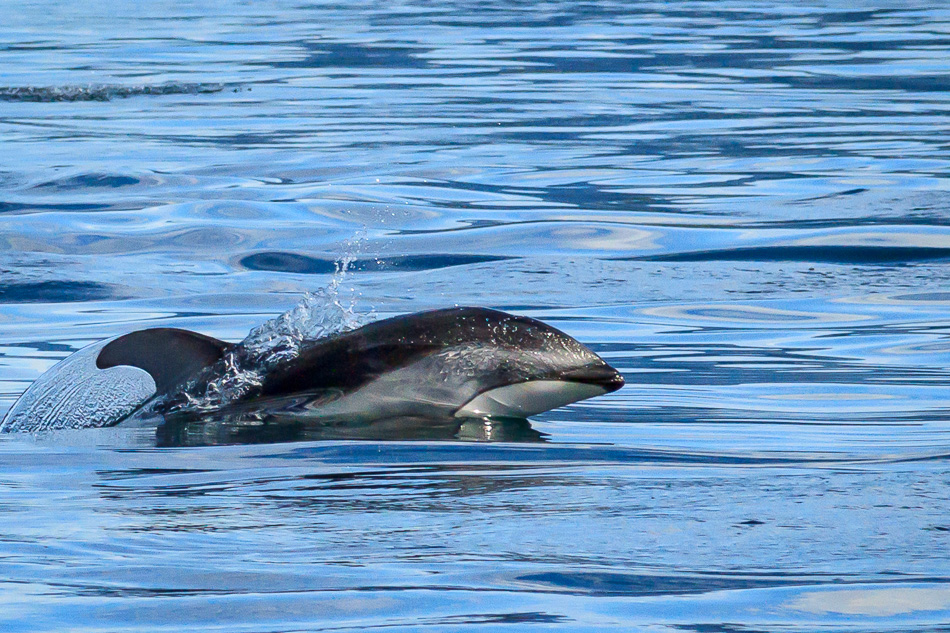Pacific White Sided Dolphin in Discovery Passage, British Columbia