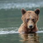 Grizzly Bear Photography in Khutzeymateen British Columbia – Part 1