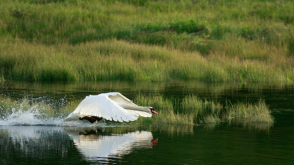 Larry the swan at the estuary, Spit Road, Campbell River, British Columbia