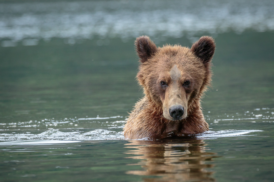 Grizzly Bear in Khutzeymateen Provincial Park, British Columbia
