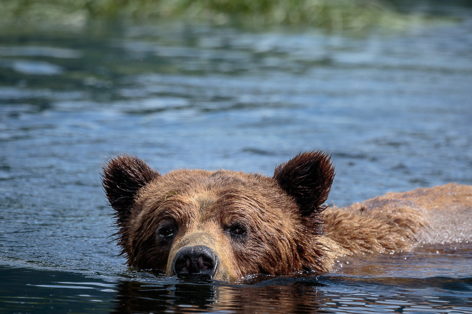 Grizzly Bear swimming in Khutzeymateen Provincial Park, British Columbia