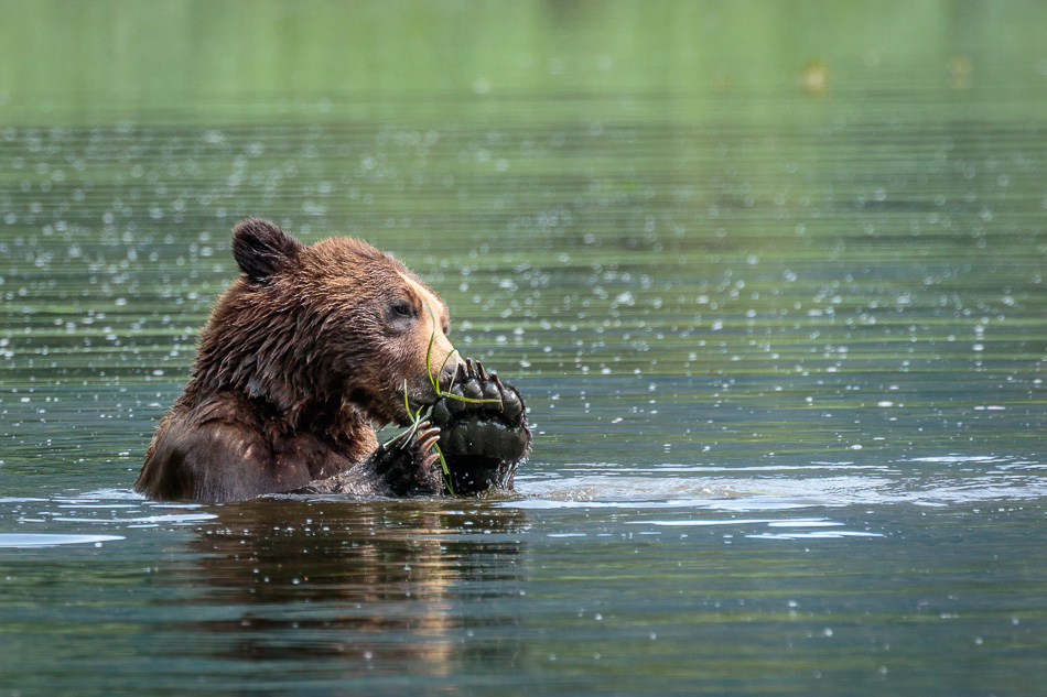 Grizzly Bear eating grass in Khutzeymateen Provincial Park, British Columbia
