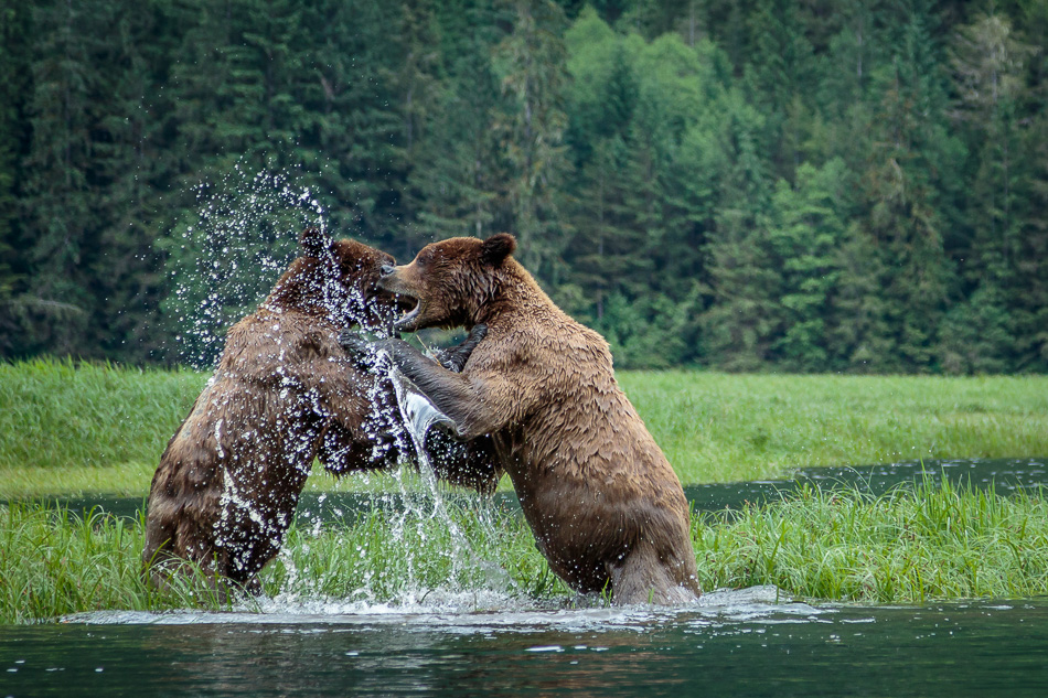 Two Grizzly Bears playing in the water in Khutzeymateen Provincial Park, British Columbia
