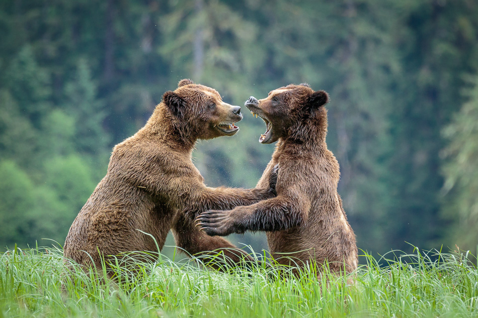Two Grizzly Bears playing in Khutzeymateen Provincial Park, British Columbia