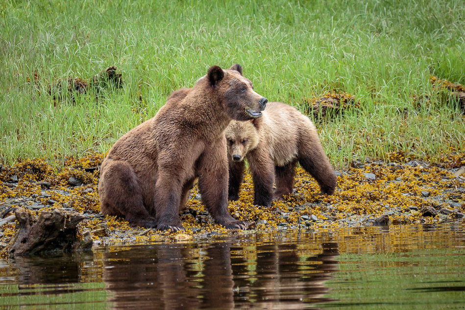 Grizzly Bear mother and cub in Khutzeymateen Provincial Park, British Columbia