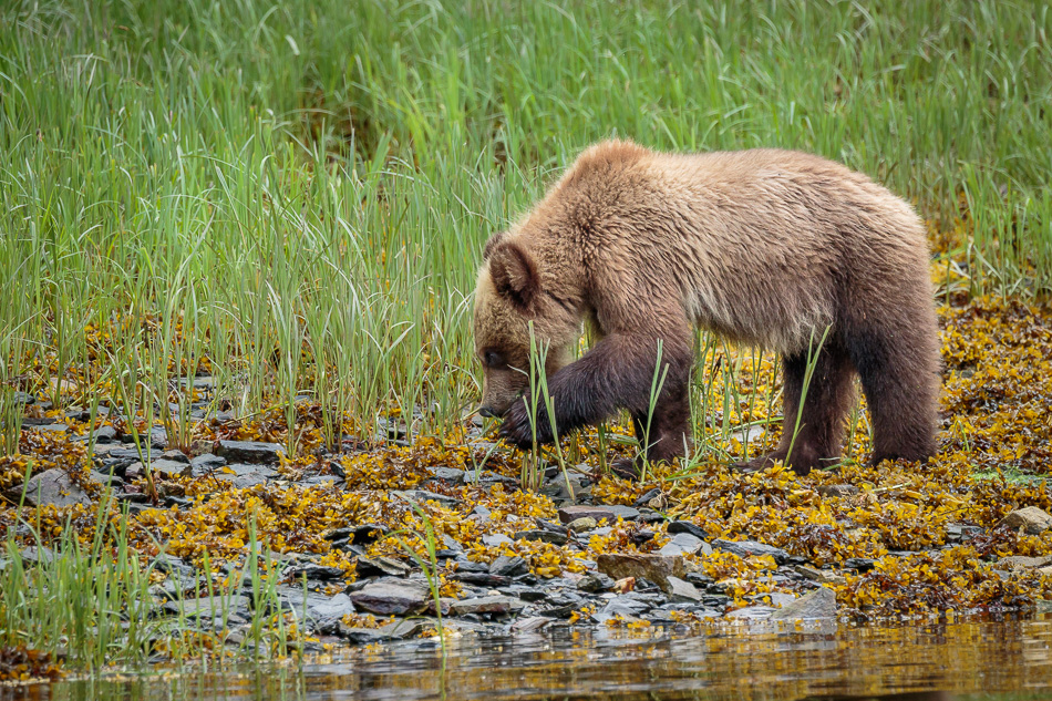 Grizzly Bear cub in Khutzeymateen Provincial Park, British Columbia